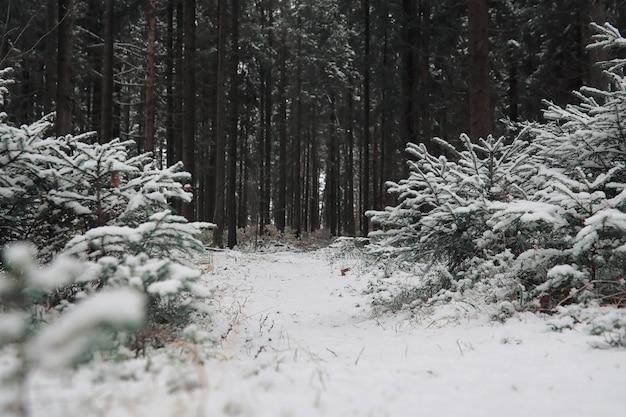 Winterbos. landschap van winterbos op een zonnige dag. besneeuwde bomen en kerstbomen in het bos. takken onder de sneeuw. slecht besneeuwd weer koude dag.