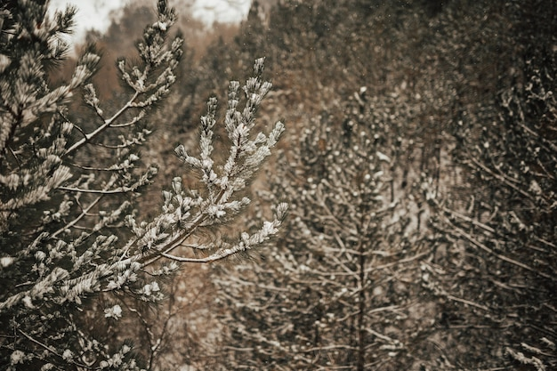 Winterbos met bomen bedekt met sneeuw