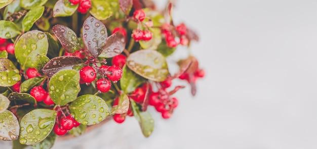 Wintergroen rode bes met regendruppels op witte achtergrond