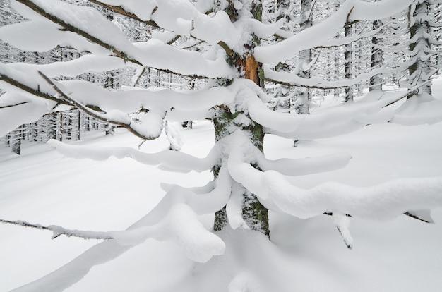 Winterlandschap in een bergbos met sneeuw bedekte fir takken