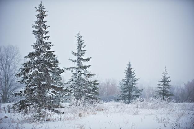 Winterlandschap met berijpte dennen