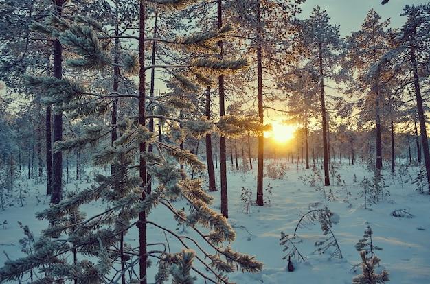 Winterlandschap met dennenbos en zonsondergang
