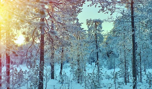 Winterlandschap met het dennenbos en zonsondergang, ondiepe scherptediepte