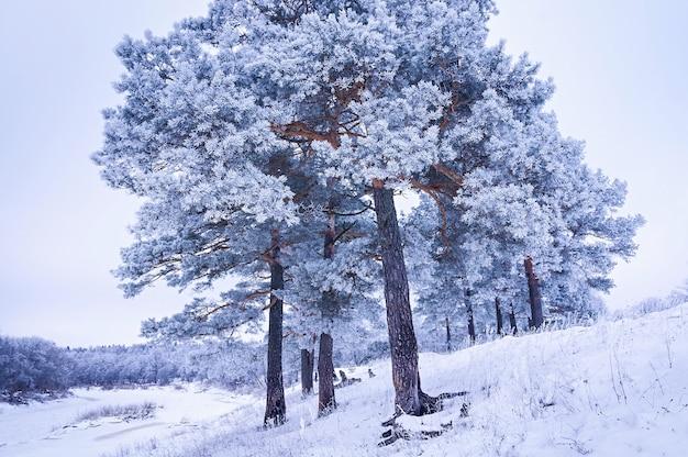 Winterlandschap, pijnbomen bedekt met rijm. kerst achtergrond