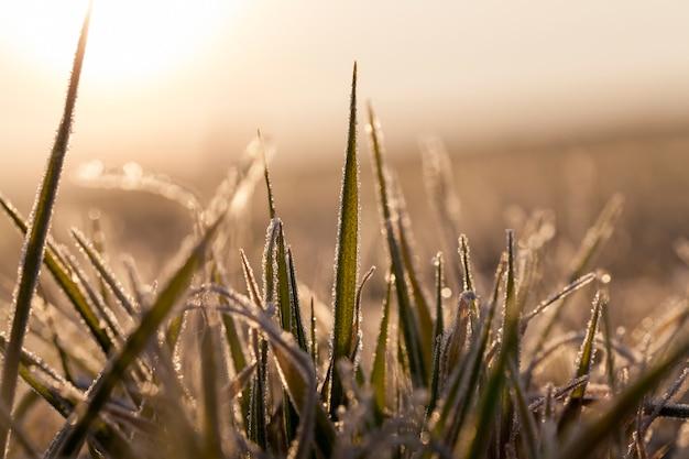 Winterrogge of tarwe bedekt met ijskristallen en vorst tijdens wintervorst