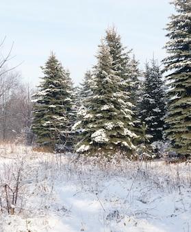 Winterseizoen in het bos, groenblijvende sparren en dennen met naalden bedekt met sneeuw en vorst landschap in de natuur