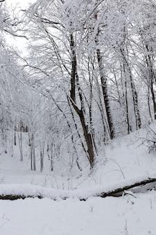 Winterseizoen in het bos of in het park met kale bomen, loofbomen zonder gebladerte in de sneeuw na sneeuwstormen en sneeuwval