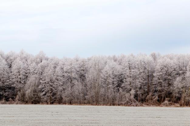 Winterseizoen met sneeuw in het park of bos en dennenbossen, koud winterweer in het park of bos bij vorst met dennen- en sparrenbomen, naaldbomen in het winterseizoen