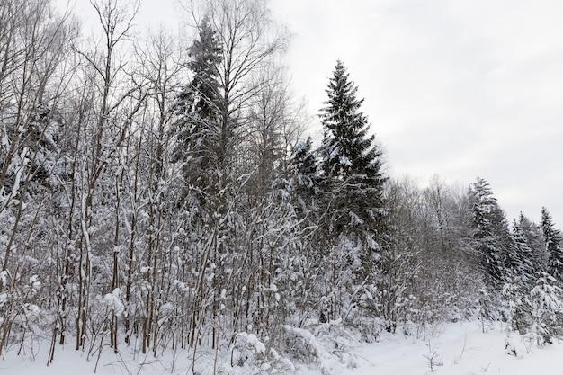 Winterseizoen van het jaar in het bos, gemengd bos met sparren in het winterseizoen in de sneeuw