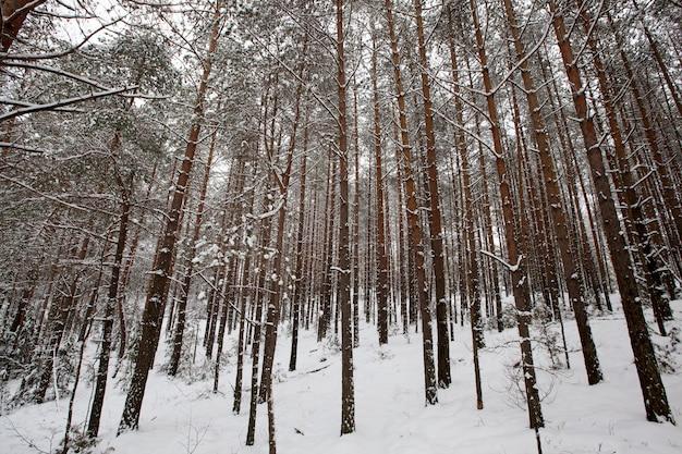 Winterweer in het park of bos en dennensparren, sparren en dennen in het winterseizoen, ijzige winter na sneeuwval met lange dennen of sparren