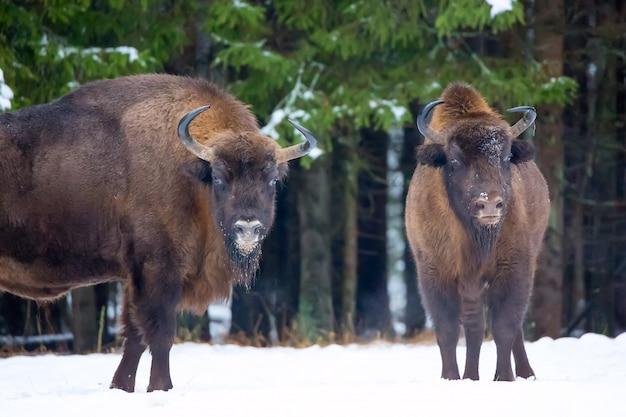 Wisent groep in de buurt van winter besneeuwde bos