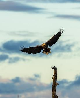 Wit de steel verwijderd van eagle die in boom, verticale exemplaarruimte landen