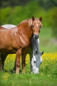 Wit en bruin paard op veld van gele bloemen. boerderijdieren op weide