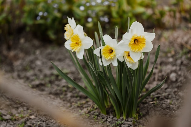 Wit-gele narcissen in de tuin
