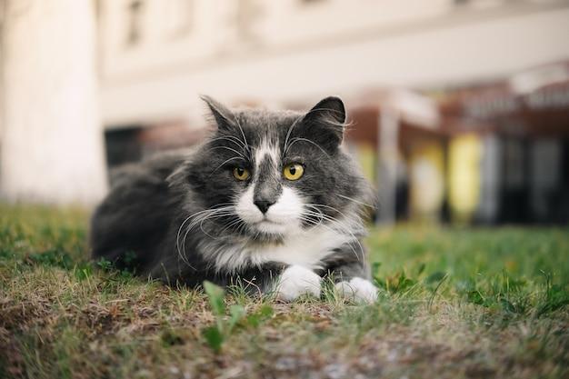Wit-grijze kat met gele ogen die buiten in het gras liggen.