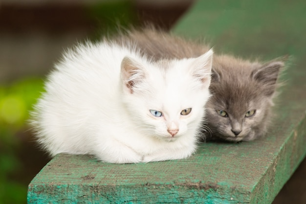 Wit katje met verschillende ogen