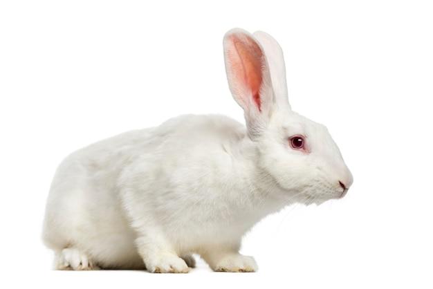 Wit konijn (7 maanden oud)