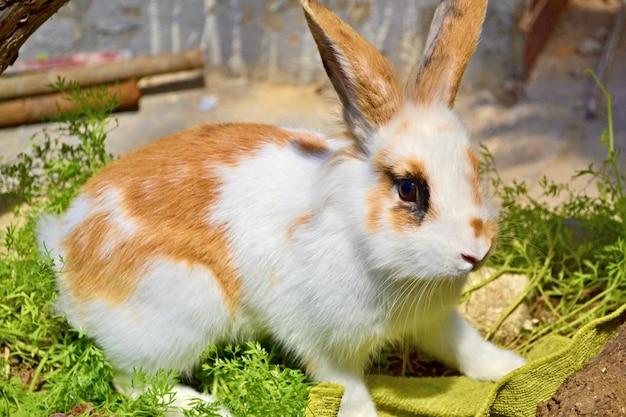 Wit konijn met rode vlekken en grappige oren