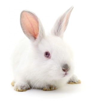 Wit konijn.