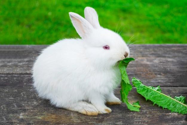 Wit konijntjeskonijn buitenshuis. klein, schattig, zit op een houten tafel en eet blad in de tuin.