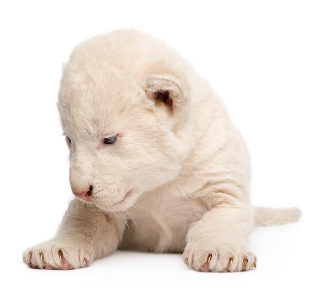 Wit lion cub op een geïsoleerd wit