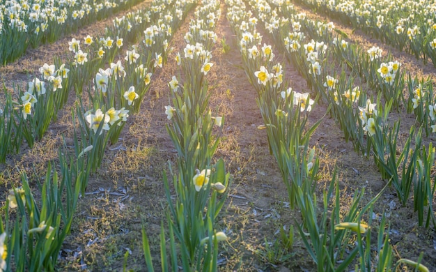 Wit narcissenveld