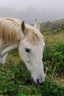 Wit paard weidend gras, hoofdportret