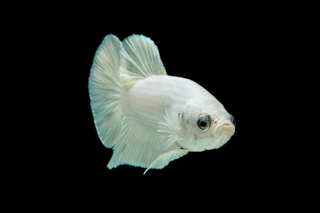 Wit platina betta vis, siamese vechten vis op zwart