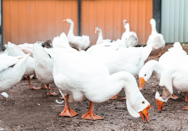Wit pluimvee eet buitenshuis voedsel dat ganzen fokt op een pluimveeboerderij die dieren fokt