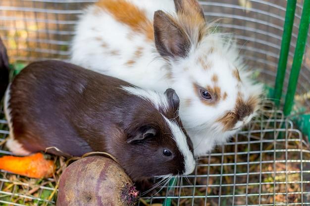 Wit pluizig konijn en zwarte cavia in een kooi