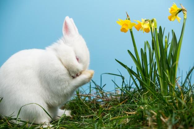 Wit pluizig konijntje dat zijn neus naast gele narcissen krast