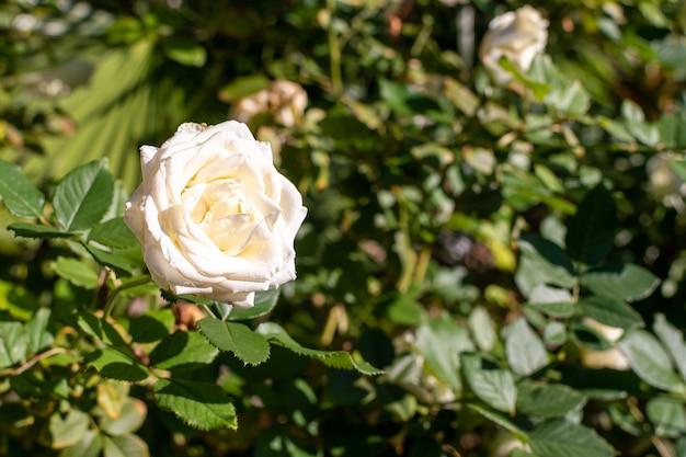 Wit roze bloem op onscherpe achtergrond in de tuin.