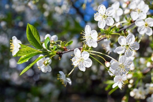 Wit tot bloei komende takje van kersenboom