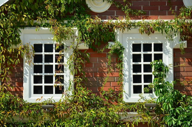 Wit venster op groene muur met klimplant. natuurlijke groene bladdekking muur