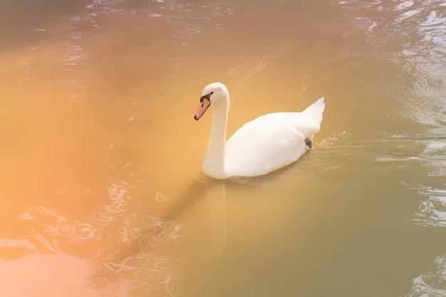 Wit zwaan zwemwater in het meer