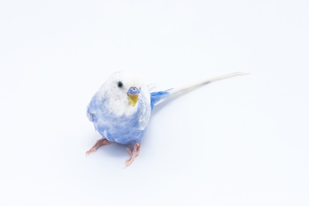 Witblauwe golvende papegaai geïsoleerd op witte achtergrond