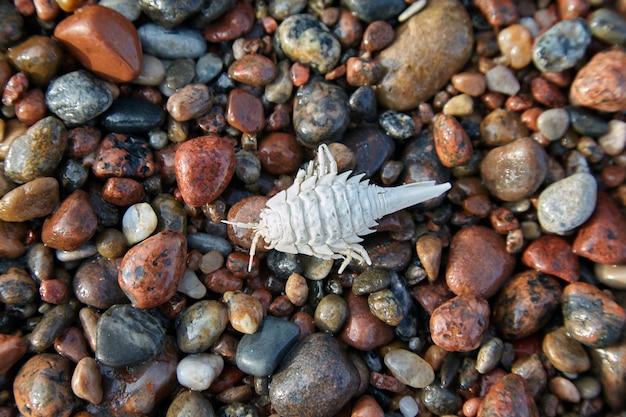 Witgekalkte geleedpotige shell op de keien van de kust. saduria entomon