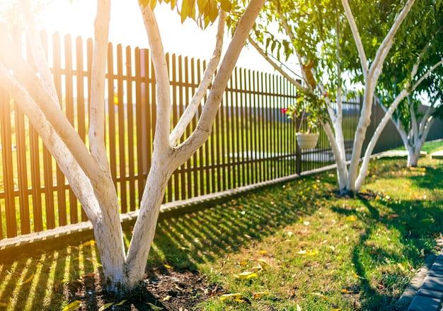 Witgekalkte schors van fruitbomen die in zonnige boomgaardtuin groeien op vage groene exemplaar ruimteachtergrond. tuinieren en landbouw, concept van beschermende procedures.
