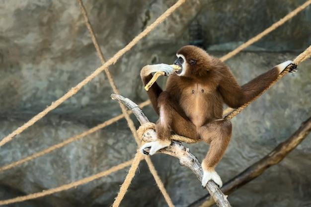 Withandige gibbon.