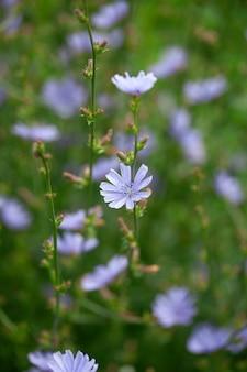 Witlofbloemen op de weide