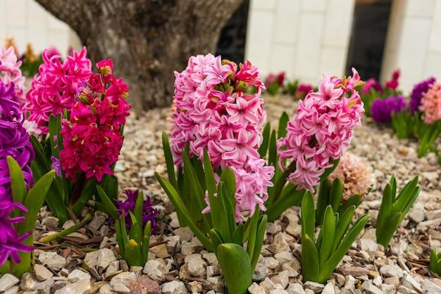 Witroze en paarse hyacint, of hyacinthus, bloemen in volle bloei horizontaal