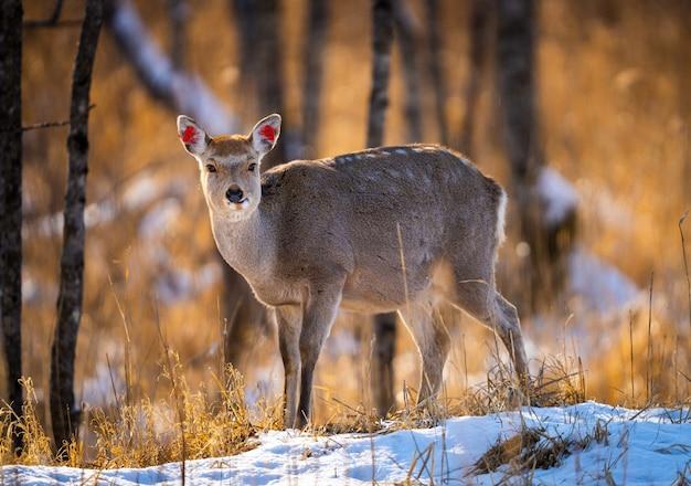 Witstaarthert op een besneeuwd veldbos