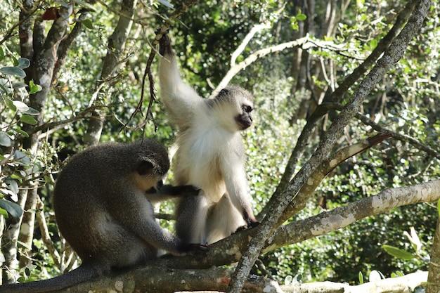 Witte aap en een zwarte aap zittend op de tak van een boom in een bos