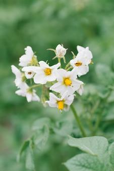 Witte aardappelbloemen in de tuin in de zomer