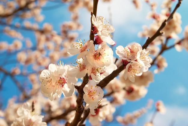 Witte abrikozenbloemen op de lenteboom met blauwe hemelachtergrond