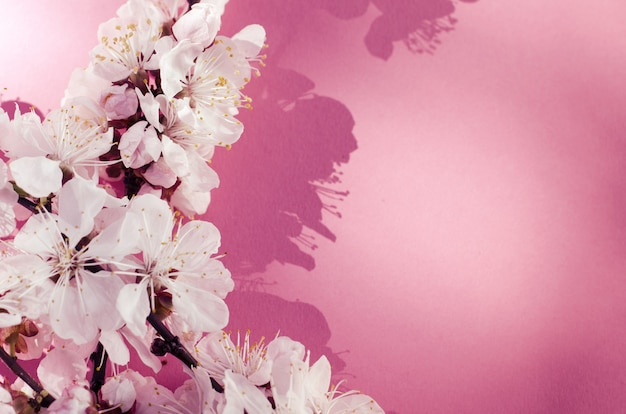 Witte abrikozenbloemen op roze achtergrond.