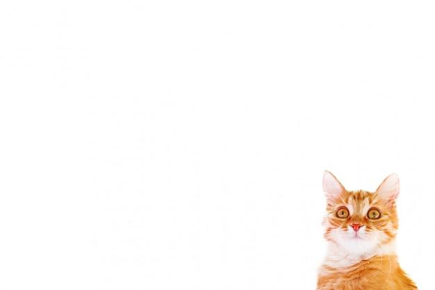 Witte achtergrond met nieuwsgierige verwarde kat. leuk gemberkatje kijkt verrast. plaats voor tekst.