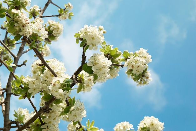 Witte appelboombloemen met blauwe hemel