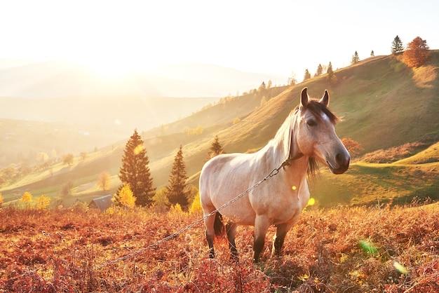 Witte arabische paarden grazen op de berghelling bij zonsondergang in oranje zonnige balken. karpaten, oekraïne, europa.