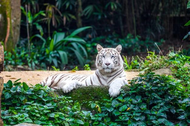 Witte bengaalse tijger